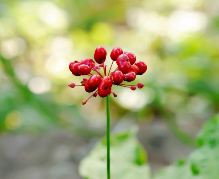 Ženšen - Panax Ginseng: účinky, cena a pěstování