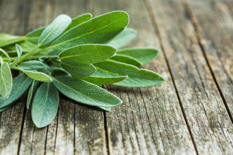 Šalvěj lékařská - Salvia officinalis: účinky (i nežádoucí) a použití